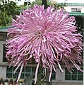 菊花-織女 Chrysanthemum morifolium 'Fairy Weaver' -香港圓玄學院 Hong Kong Yuen Yuen Institute- (12065014584).jpg