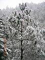 雪中松 - panoramio.jpg