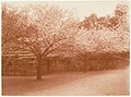 -Grove of Cherry Trees- MET DP136187.jpg