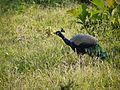 ... peacock (6367831149).jpg