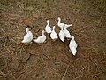 0358jfLands Culianin Ducklings Plaridel Cattle Fieldsfvf 11.JPG