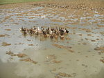 09461jfRoads Paddy fields Domesticated ducks Paligui Candaba Pampangafvf 12.JPG