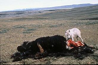 Arctic wolf - Arctic wolf feeding on muskox carcass in Ellesmere Island