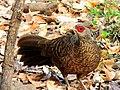 1.Kalij pheasant female.jpg