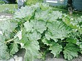 100 Year Old Rhubarb Plant Downtown Skagway.jpg