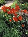 13 red lily.jpg
