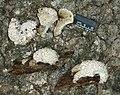 2005-09-24 Nectriopsis tremellicola (Ellis & Everh.) W. Gams 263132.jpg