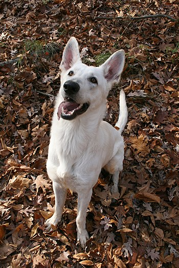 English: A one-year-old White German Shepherd ...