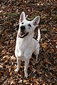 2008-08-28 White German Shepherd ready.jpg