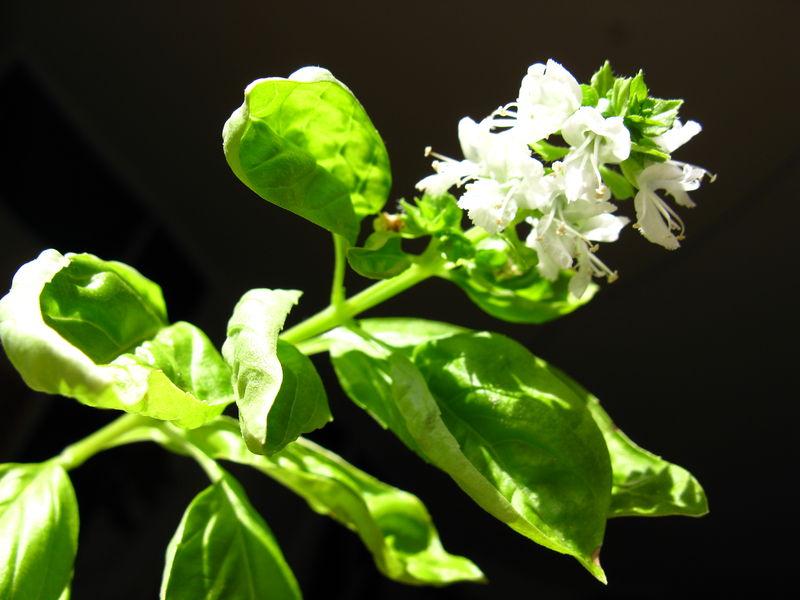 Soubor:2008 03 15 - Ocimum basilicum 7.JPG