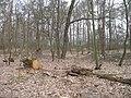 2009-04 Санітарними рубками намагаться знищити найцінніші дерева проектованого заказника Чернечий ліс (1).jpg