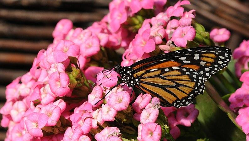 2011-04-25-lepidoptera-hunawihr-17.jpg