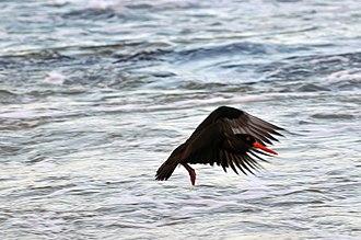 Sooty oystercatcher - Image: 20110821 Sooty Oystercatcher in flight 2 of 3