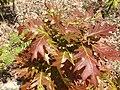 2013-05-12 13 17 43 Immature Red Oak foliage along the Wanaque Ridge Trail in Ramapo Mountain State Forest, New Jersey.jpg