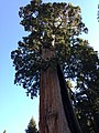 2013-09-20 08 54 25 Giant Sequoia near the southwest entrance to Kings Canyon National Park.jpg
