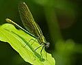 2013.07.13.-03-Anglersee-Bruehl-Gebaenderte Prachtlibelle-Weibchen.jpg