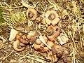 2014-01-05 Geastrum saccatum Fr 396374.jpg