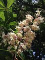2014-05-15 13 53 46 Horse-chestnut tree blossoms within Riverview Cemetary in Trenton, New Jersey.JPG