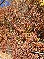 2014-10-24 12 23 47 Lilac foliage in autumn in Elko, Nevada.JPG