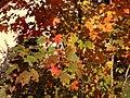 2014-10-30 10 32 00 Sugar Maple foliage during autumn along Durham Avenue in Ewing, New Jersey.JPG
