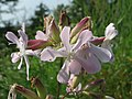 20140907Saponaria officinalis1.jpg