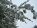 2015-05-07 07 29 35 New green leaves covered by a late spring wet snowfall on a Siberian Elm on South 7th Street in Elko, Nevada.jpg