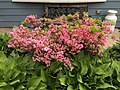 2015-05-18 12 56 41 'Rosebud' Azalea blooming and Hostas along Terrace Boulevard in Ewing, New Jersey.jpg
