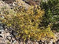 2015-10-31 10 04 12 Willow with yellow autumn foliage along the Mount Rose Trail about 2.9 miles northwest of Mount Rose Summit, Nevada.jpg