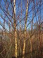 20150309Betula pubescens5.jpg