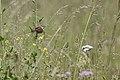 20150614 070 Kessel Weerdbeemden Grasmus (18614404630).jpg