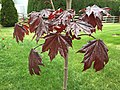 2016-04-27 16 28 28 Young, immature foliage of 'Crimson King' Norway Maple along Tranquility Court in the Franklin Farm section of Oak Hill, Fairfax County, Virginia.jpg