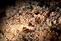 2017, cuba, jardines aggressor, patricia, a scorpionfish (37294193390).jpg