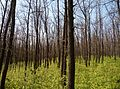 2017-05-01. Babayi forestry 1.jpg