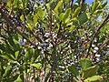 2017-09-04 12 28 29 Northern Bayberry leaves and fruit along the sand road leading to Barnegat Inlet within the Southern Natural Area of Island Beach State Park, in Berkeley Township, Ocean County, New Jersey.jpg
