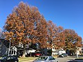 2017-11-24 13 37 54 Pin Oaks in late autumn along Ladybank Lane in the Chantilly Highlands section of Oak Hill, Fairfax County, Virginia.jpg