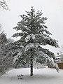 2018-03-21 11 47 24 A snow-covered Eastern White Pine along a walking path in the Franklin Farm section of Oak Hill, Fairfax County, Virginia.jpg
