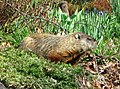 2018 Fort Tryon Park - groundhog.jpg