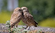 2019-05-08 Burrowing Owls.jpg