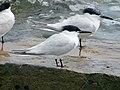 2020-07-18 Thalasseus sandvicensis, St Marys Island, Northumberland 02.jpg