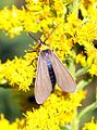 2584 Yellow-Collard Scape Moth (2960275870).jpg