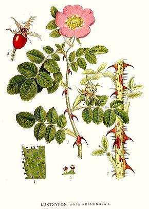 Rosa Rubiginosa Wikipedia