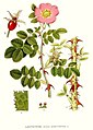 292 Rosa rubiginosa.jpg