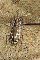 366 - Hairy-necked Tiger Beetle - Cicindela hirticollis, Chapel Point State Park, Port Tobacco, Maryland.jpg