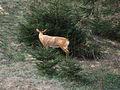 3D target Deer at spruce.jpg