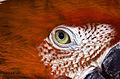 3red parrot eye1 (8304637497).jpg