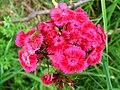 4943 - Mürren-Gimmelwald - Formicidae on Flowers.JPG