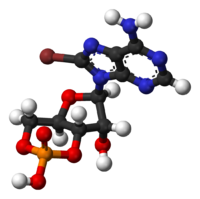 8-bromoadenosine-cyclic-monophosphate-3D-balls.png