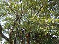 9764jfSyzygium cumini Santa Trinidad Angelesfvf 03.jpg