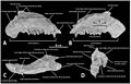 A-New-Basal-Hadrosauroid-Dinosaur-(Dinosauria-Ornithopoda)-with-Transitional-Features-from-the-Late-pone.0098821.g003.jpg