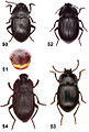 A-cladistically-based-reinterpretation-of-the-taxonomy-of-two-Afrotropical-tenebrionid-genera-zookeys-415-081-g014.jpg